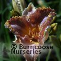HEMEROCALLIS 'Space Coast Starburst'
