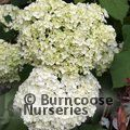 HYDRANGEA arborescens 'Annabelle' 