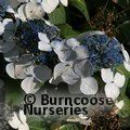 Photo of HYDRANGEA 'Lanarth'