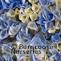 HYDRANGEA 'Magical Revolution Blue'