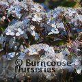 HYDRANGEA serrata 'Bluebird'