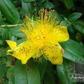 HYPERICUM calycinum  