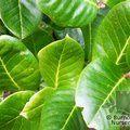 ILEX perado subsp. platyphylla