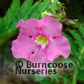 Small image of INCARVILLEA