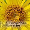Small image of INULA