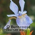 Small image of IRIS