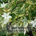 JASMINUM officinale affine 'Argentovariegatum'