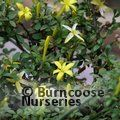 JASMINUM parkeri  