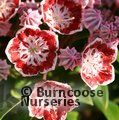 KALMIA latifolia 'Minuet' 