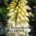 Kniphofia 'Little Maid' – 1 plant  £19.00 inc. c & p