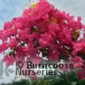 LAGERSTROEMIA   