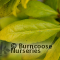 Small image of LAURUS