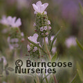 Small image of LAVANDULA