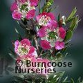 LEPTOSPERMUM karo 'Pearl Star' 