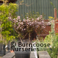 LEPTOSPERMUM scoparium nanum 'Kea'