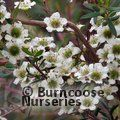 LEPTOSPERMUM polygalifolium  