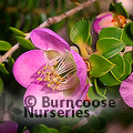 LEPTOSPERMUM rotundifolia Jervis Bay form