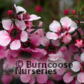 LEPTOSPERMUM scoparium 'Martinii'