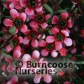 LEPTOSPERMUM scoparium nanum 'Kiwi'