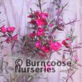 LEPTOSPERMUM scoparium 'Wiri Joan'