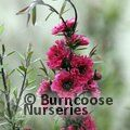LEPTOSPERMUM scoparium 'Red Damask' 