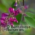 Small image of LESPEDEZA