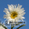 Small image of LEUCANTHEMUM
