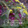 Small image of LEYCESTERIA