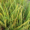 Small image of LIBERTIA