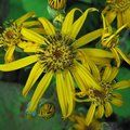 Small image of LIGULARIA