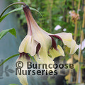 Small image of LILIUM