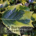 Small image of LIRIODENDRON