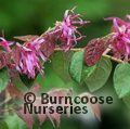 LOROPETALUM rubrum 'Blush'