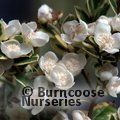 LUMA apiculata 'Glanleam Gold'
