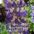 LUPINUS Herbaceous 'Blacksmith'