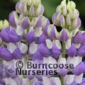 LUPINUS Herbaceous 'The Governor'