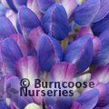 LUPINUS Herbaceous 'Persian Slipper'