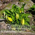 LYSICHITON americanus  