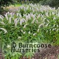Small image of LYSIMACHIA