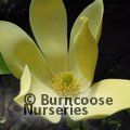MAGNOLIA 'Golden Joy'