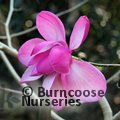 MAGNOLIA sprengeri 'Diva' 'Burncoose'