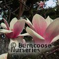 MAGNOLIA 'Thousand Butterflies'