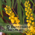 Mahonia Soft Caress – Save £4 on combined gift wrap & delivery offer