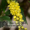 MAHONIA fortunei  
