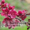 MALUS 'Royalty'