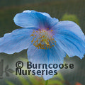 Photo of MECONOPSIS 'Lingholm'