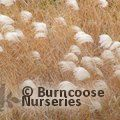 Small image of MISCANTHUS