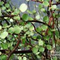 Small image of MAIDENHAIR CLIMBER - see MUEHLENBECKIA