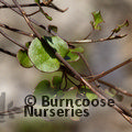 Small image of MUEHLENBECKIA