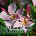 NERIUM oleander light pink